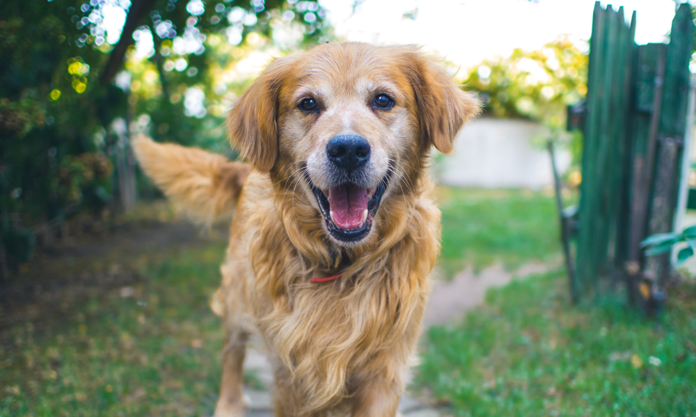innlandet hundesenter golden retriever